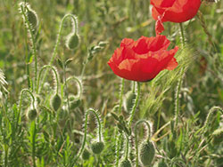 Poppies in quarry - Ref: VS574