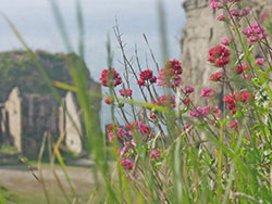 Click to view Quarry Plants at Winspit
