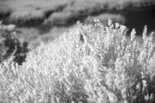Heather on the Heath (Infrared)
