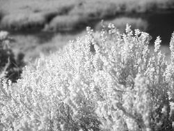Heather on the Heath (Infrared) - Ref: VS584
