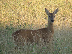 Click to view Deer at Durlston