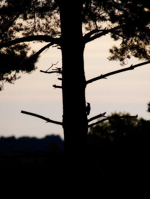 Woodpecker at Arne