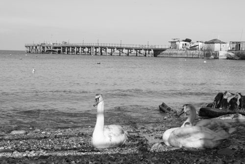 Swans at the Pier