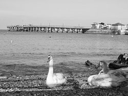 Click to view Swans at the Pier