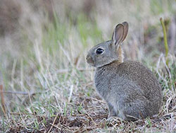 Click to view Rabbit at Arne
