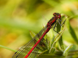 Click to view Damselfly