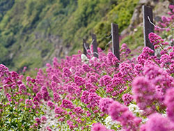 Click to view Durlston Bay Flowers