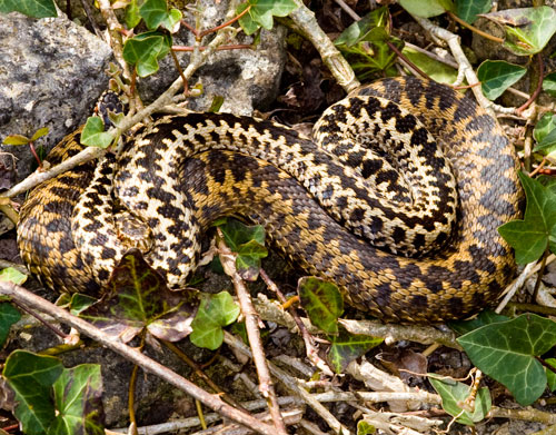 A pair of Adders