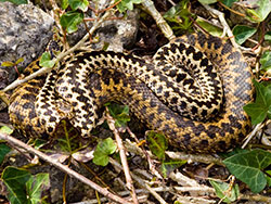 A pair of Adders - Ref: VS1119