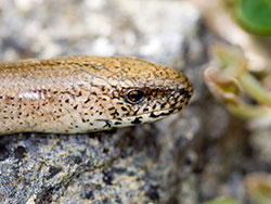 Click to view Slow Worm