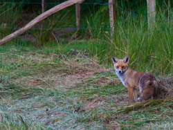 Click to view Fox at Arne