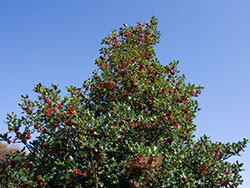 Click to view Winter Holly
