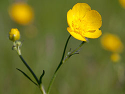 Click to view Buttercups