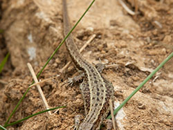 Lizard at Durlston - Ref: VS1305