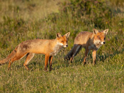 Click to view A pair of Foxes