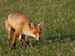 Click to view Fox at Heartland Moor