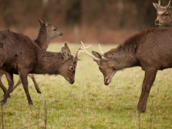 Click to view Deer at Arne