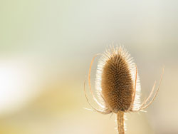 Click to view A dried thistle