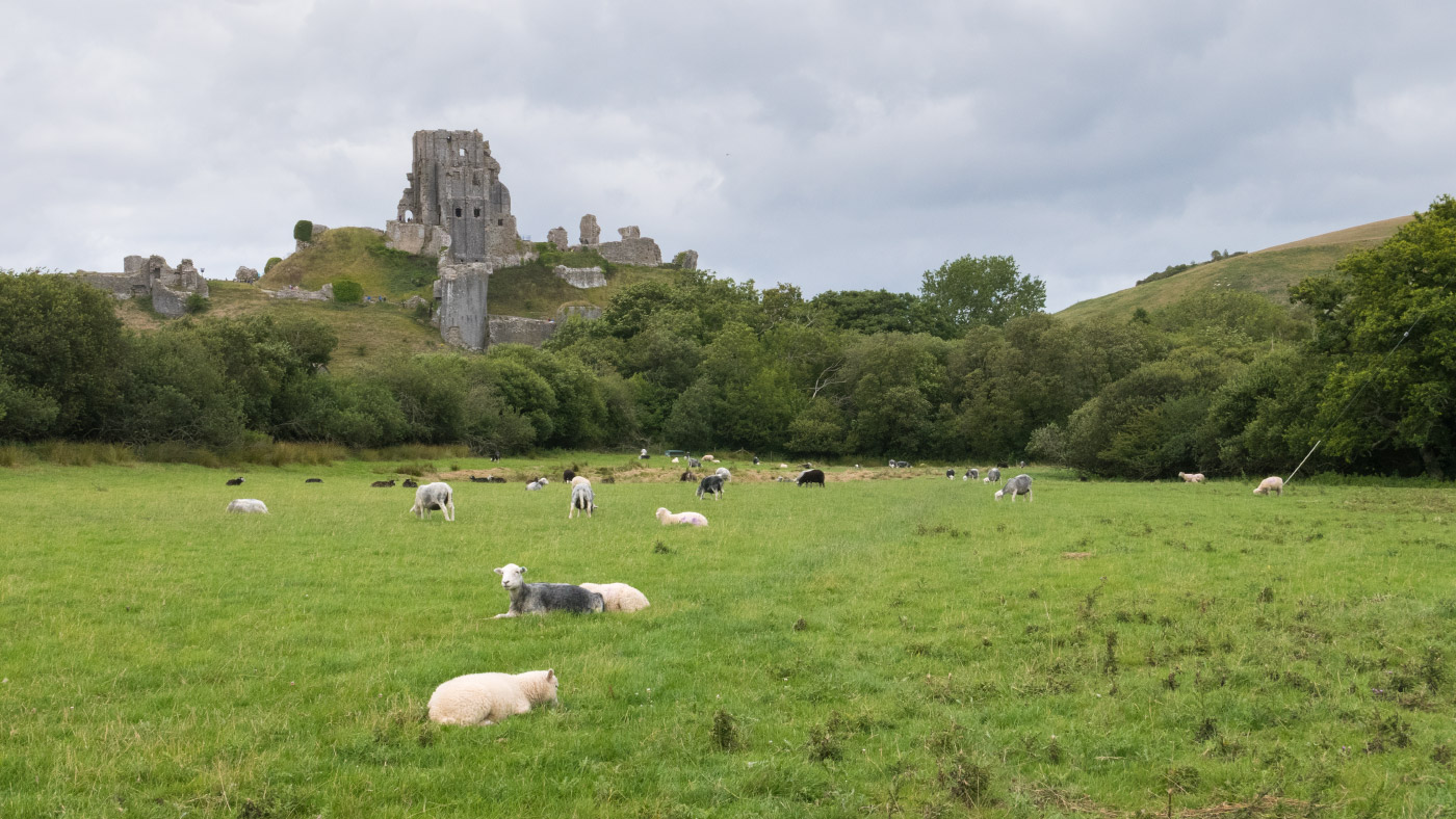 Corfe Castle and Sheep