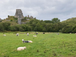 Click to view Corfe Castle and Sheep