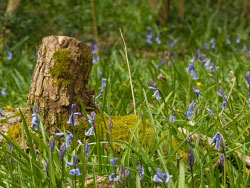 Click to view Bluebells