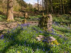 Click to view Bluebells and Standing Stones