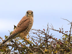 Click to view Kestrel