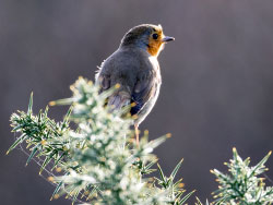 Click to view Winter Robin