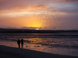 Click to view Murmurating starlings over Poole Harbour