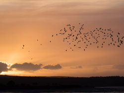 Click to view Murmurating starlings over Poole Harbour sunset