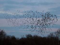 Click to view Murmurating starlings