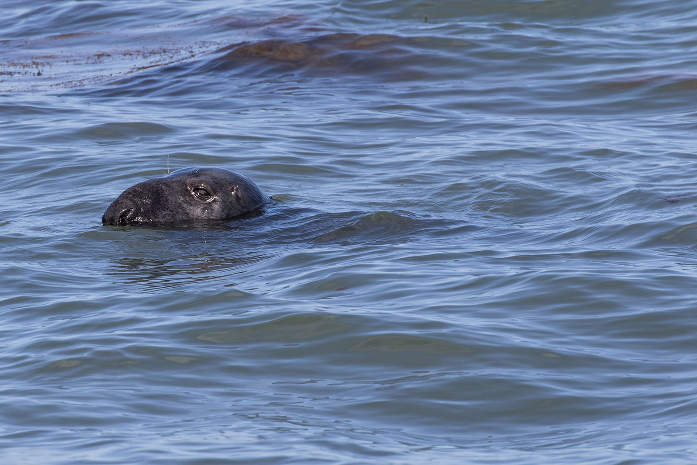 Common Seal in Durlston Bay