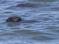 Click to view Common Seal in Durlston Bay