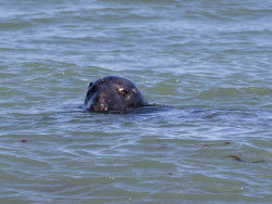 Click to view Common Seal