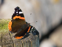 Red Admiral Butterfly - Ref: VS1787