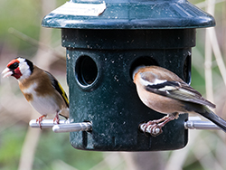Click to view Birds on a feeder