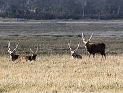 Click to view Deer on the edge of Poole Harbour
