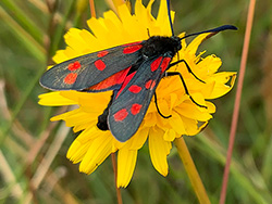 Click to view Six-spot Burnet Moth