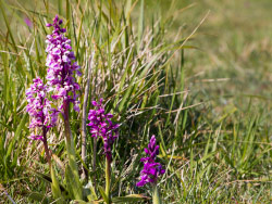 Early Purple Orchid - Orchis mascula - Ref: VS2092