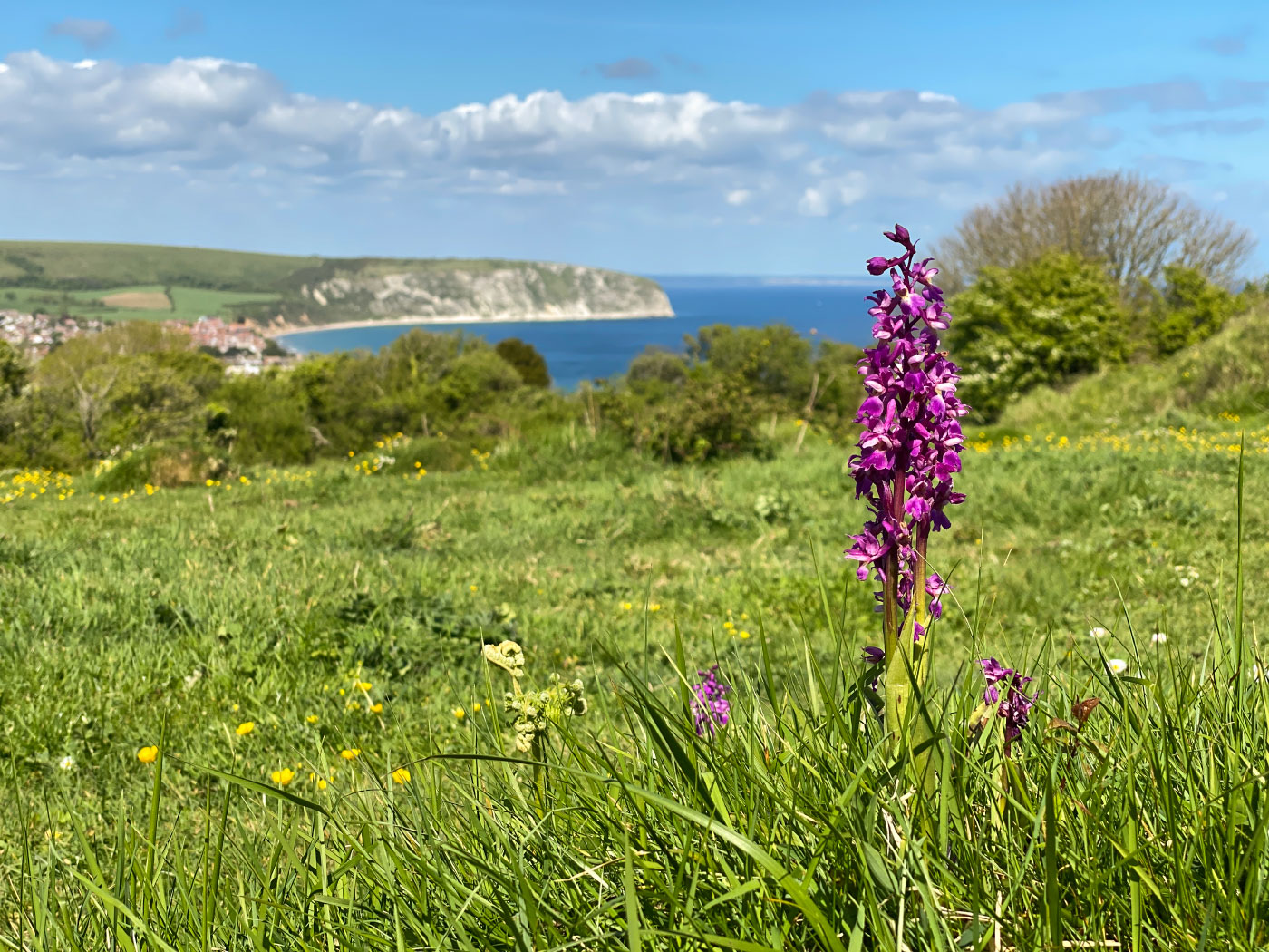 Orchids in Swanage