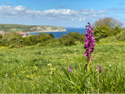 Click to view Orchids in Swanage