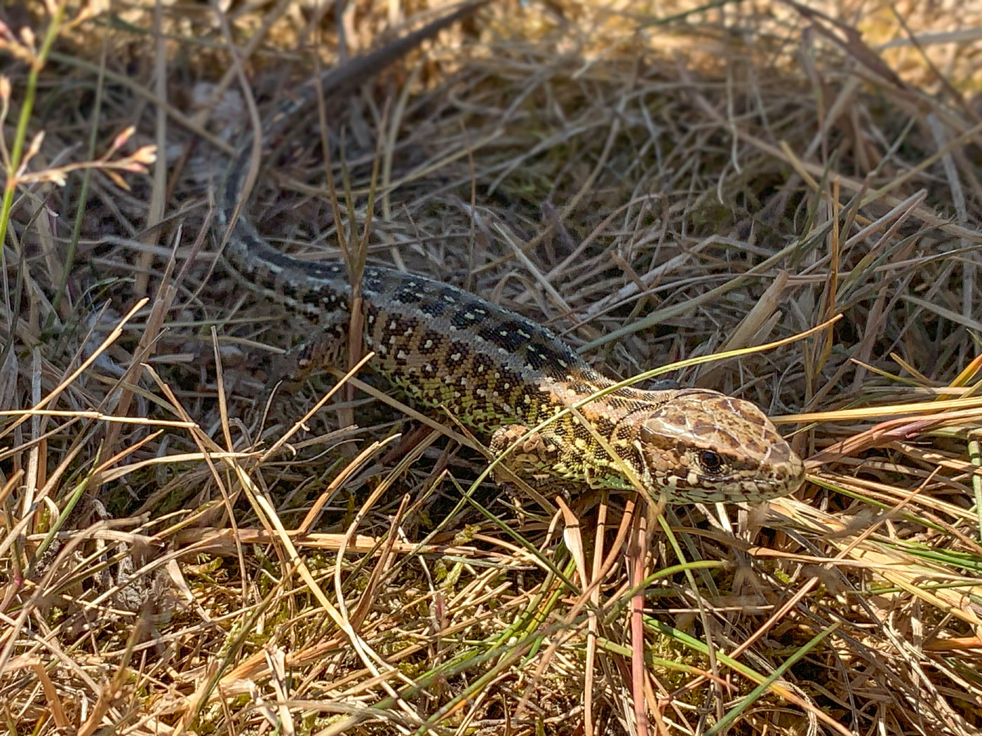 A common lizard basking in the sun